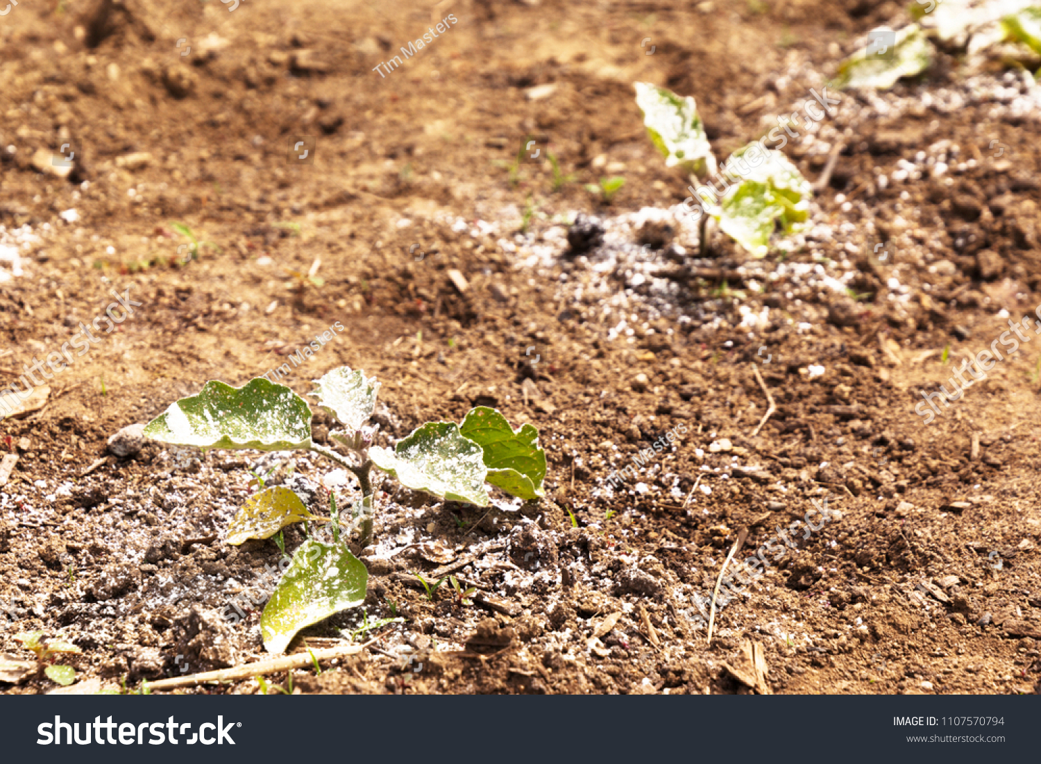 Garden Vegetable Plant Covered White Dusty Stock Photo (Royalty Free ...