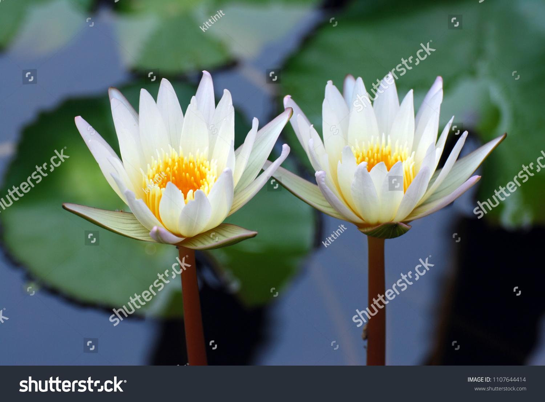 Couple white lotus flower nymphaea nouchali stock photo edit now couple white lotus flower or nymphaea nouchali or nymphaea stellata is a water lily of genus izmirmasajfo