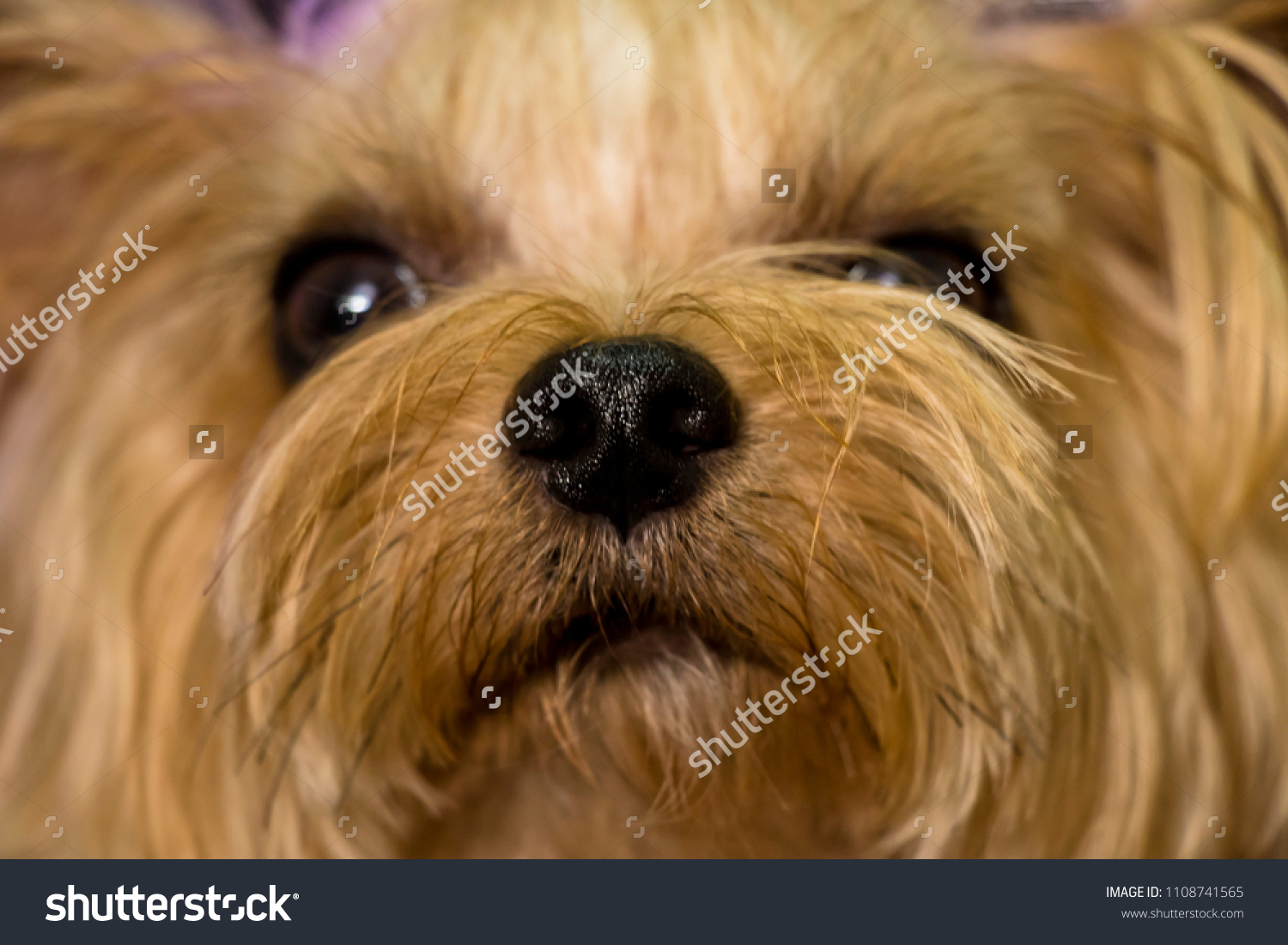 My dog is in a naughty moment.(yorkshire terrier) #1108741565