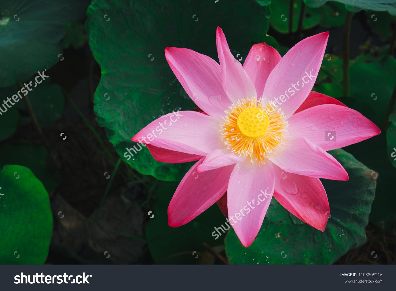 Fresh Pink Lotus Flower Close Focus Stock Photo Edit Now