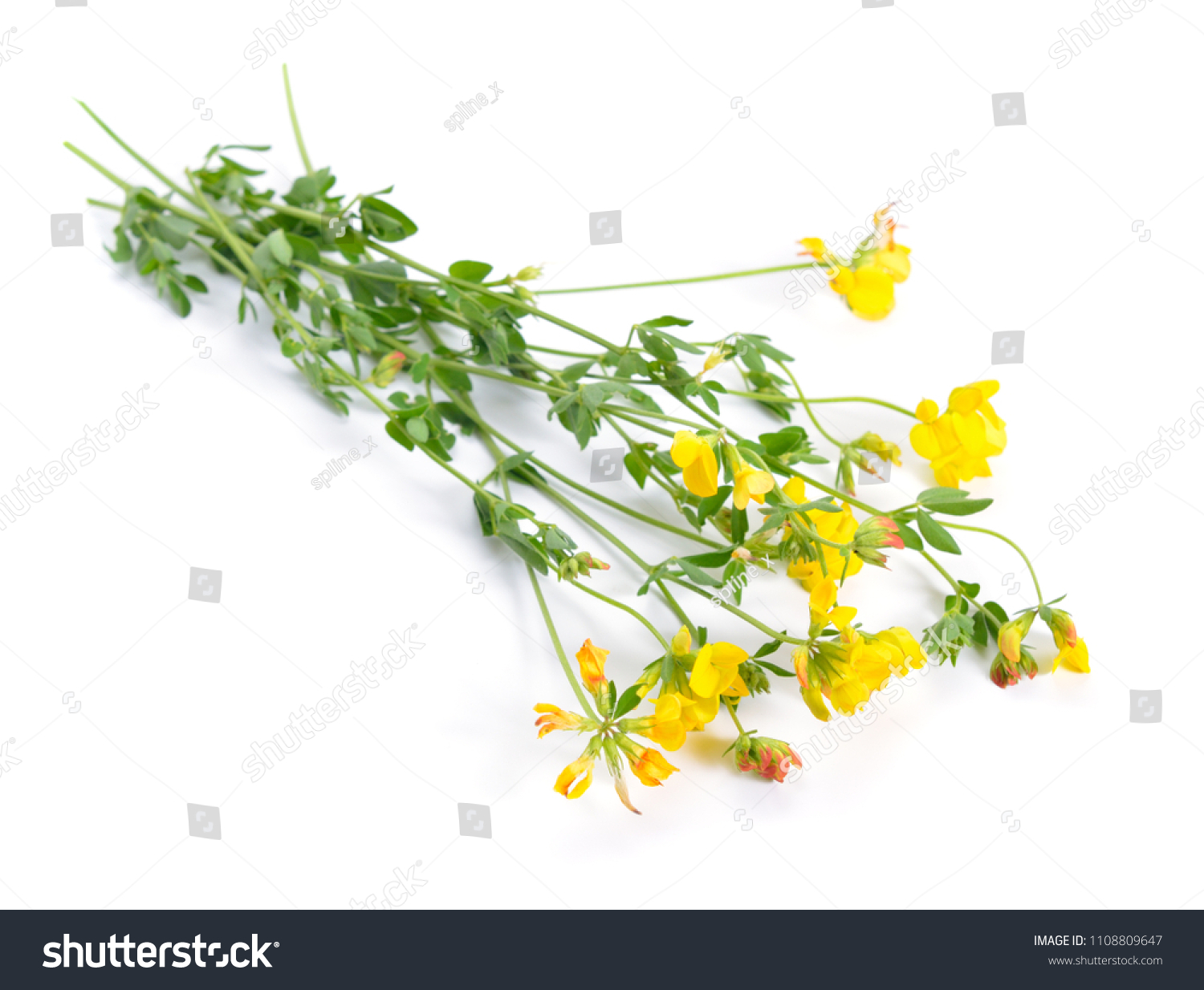 Medicago Falcata Common Names Include Yellow Stock Photo Edit Now