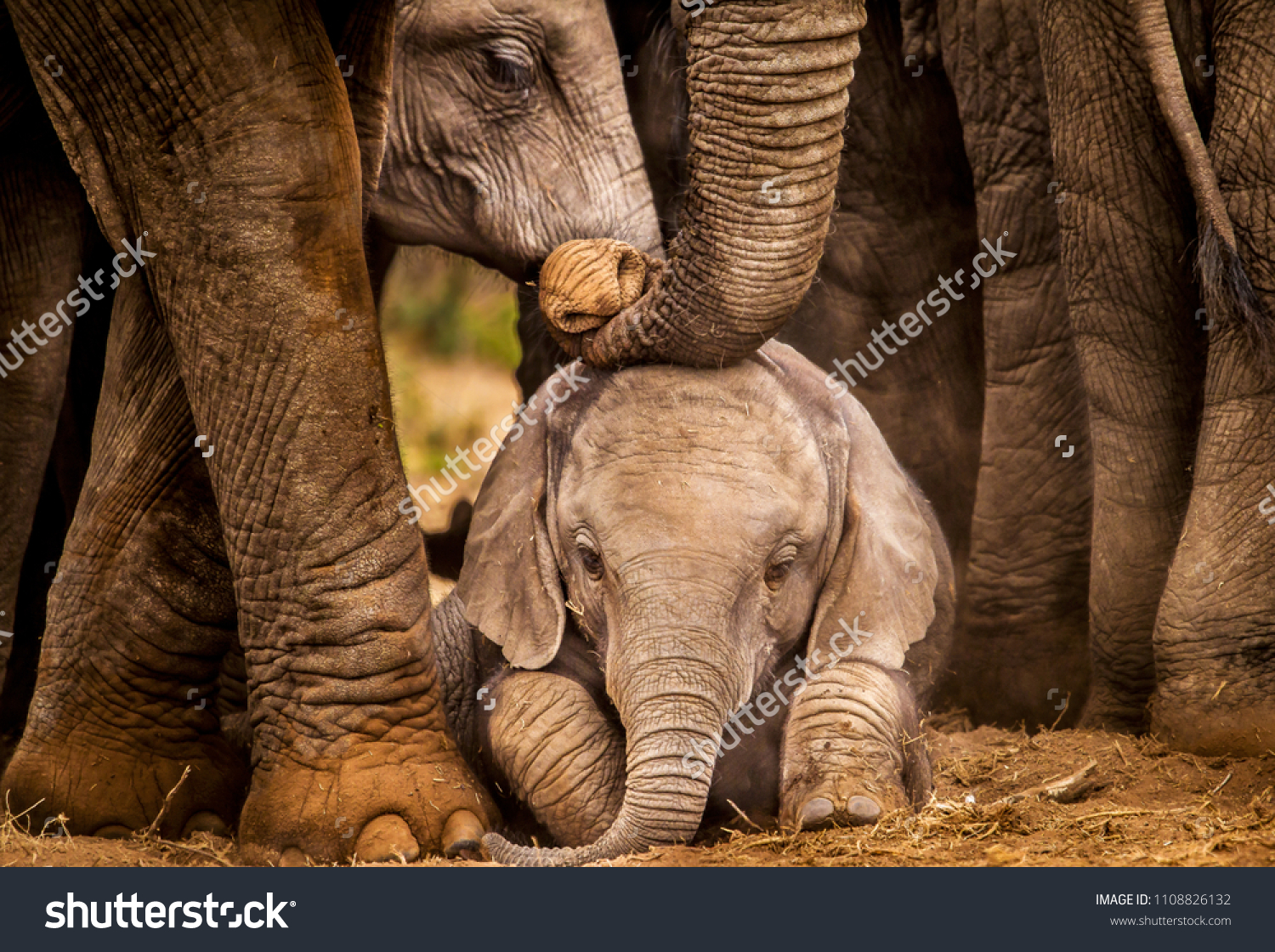 Baby African elephant under the protection of the adults in the herd #1108826132