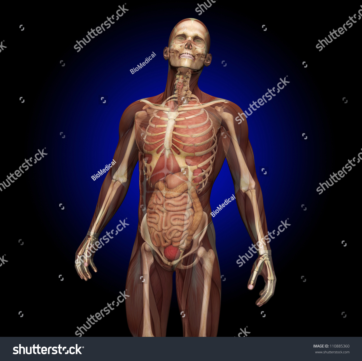 Human Anatomy Transparent Muscles Showing Internal Stock ...