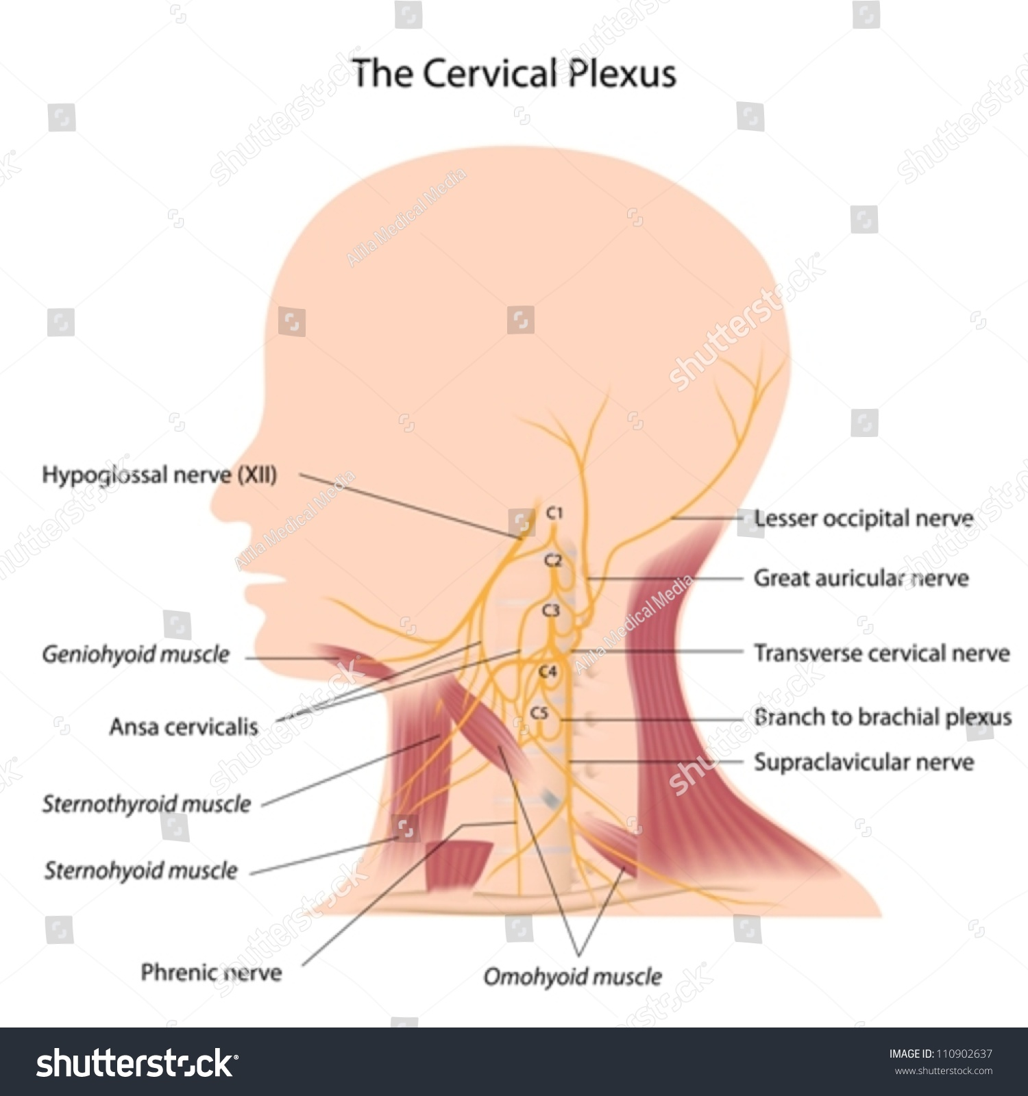 Cervical Plexus Stock Photo (Photo, Vector, Illustration) 110902637 ...