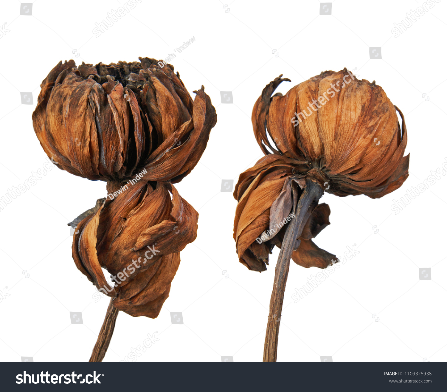 Dried Lotus Flower Tropical Flowers Dry Stock Photo Edit Now
