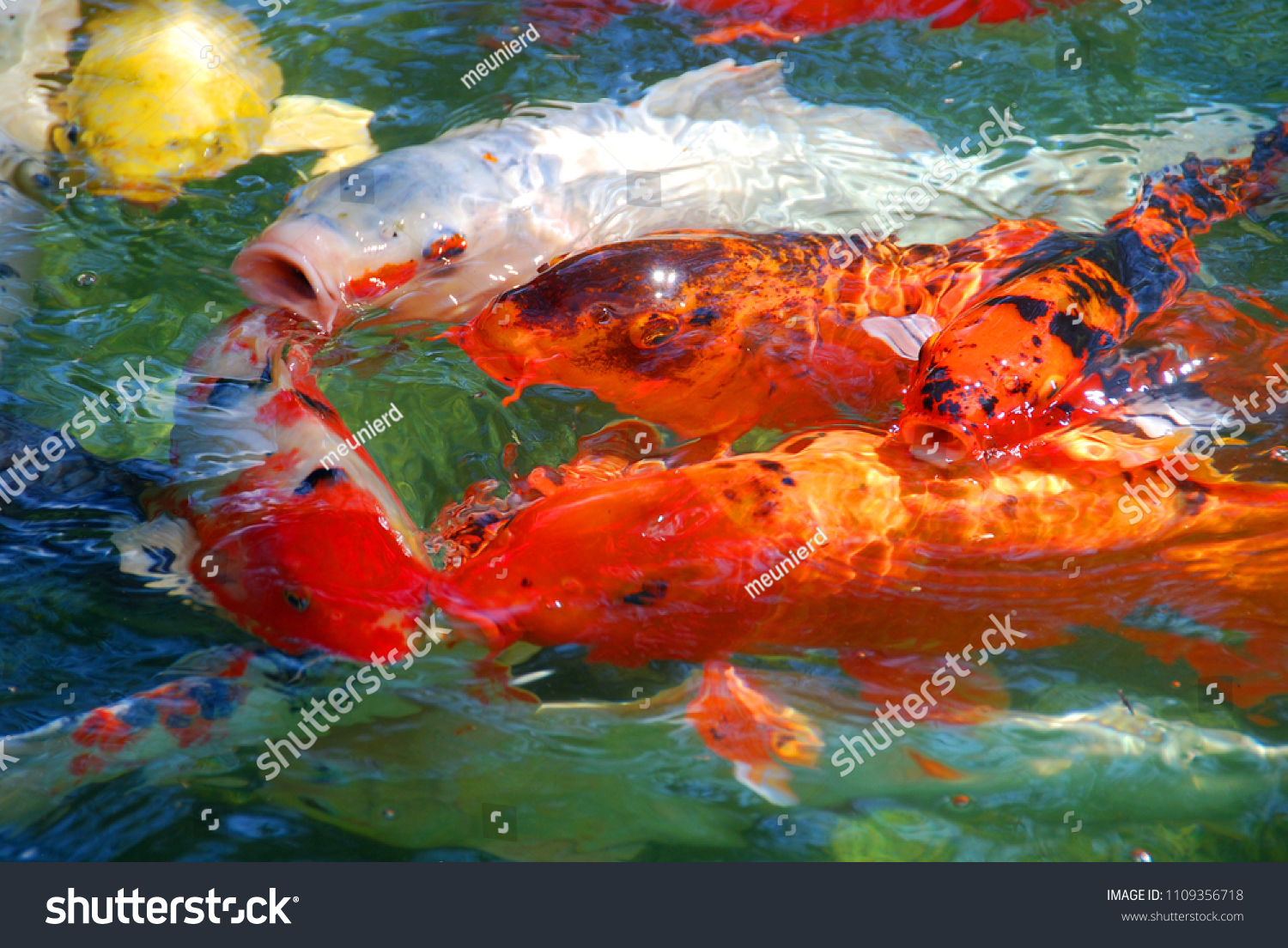 Koi Fish Colored Varieties Amur Carp Stock Photo (Royalty Free ...