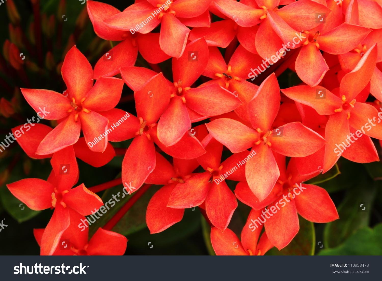 Royalty free red flower close up west indian jasmine 110958473 red flower close up west indian jasmineientific name ixora chinensis lamk izmirmasajfo