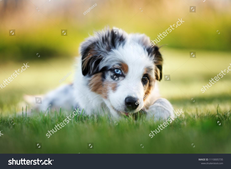 Mini Australian Shepherd Puppy Lying Down Stock Photo Edit Now 1110005735