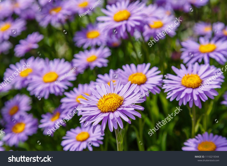 Alpine Aster Aster Alpinus Decorative Garden Stock Photo Edit Now
