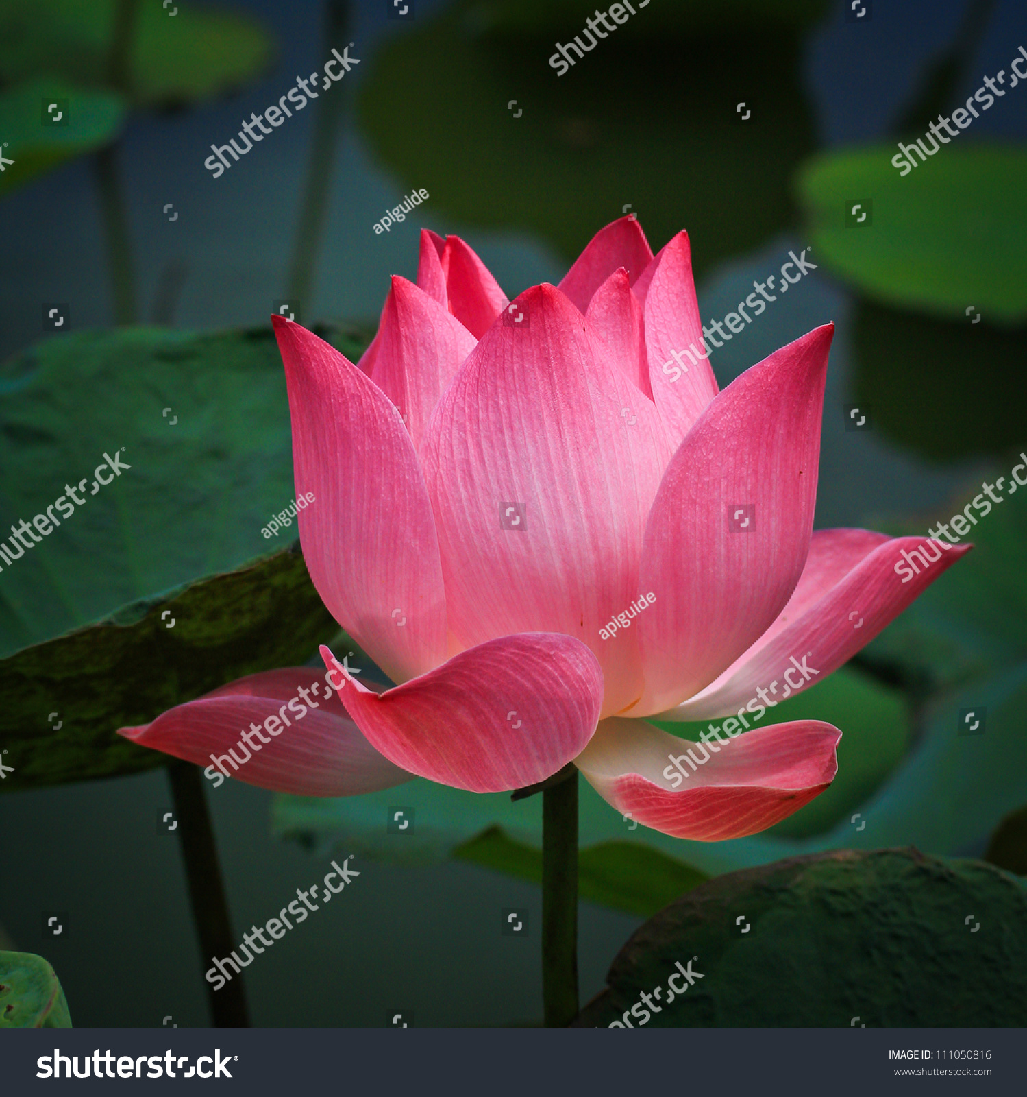 Pink lotus flower beautiful lotus stock photo edit now 111050816 pink lotus flower beautiful lotus izmirmasajfo