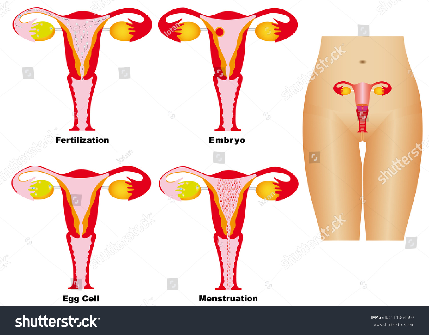 Female Reproductive System Reproductive System Women Stock Vector