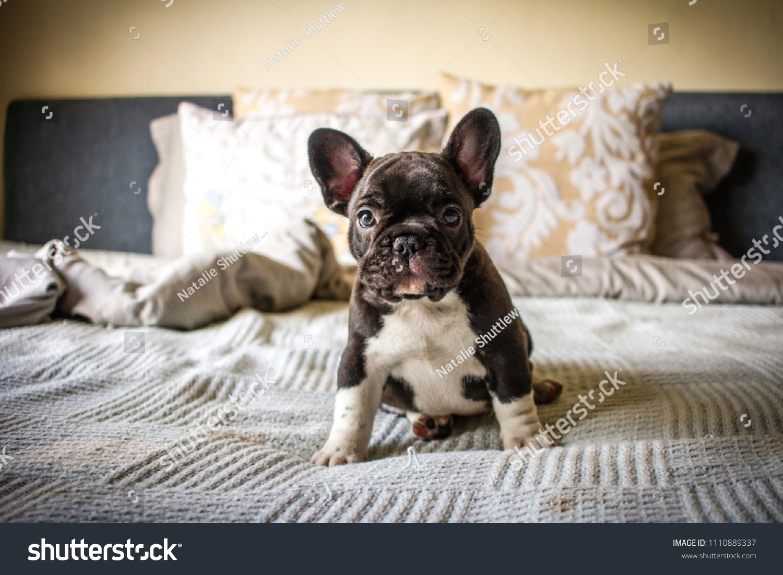 Brindle White French Bulldog Puppy Sitting Stock Photo Edit Now 1110889337