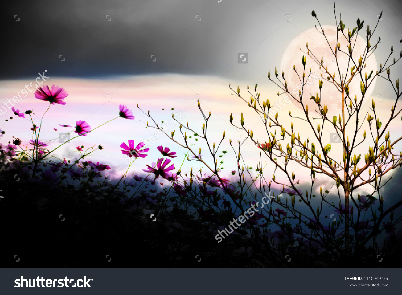 Beautiful night full moon cosmos flowers stock photo edit now beautiful night with full moon and cosmos flowers izmirmasajfo