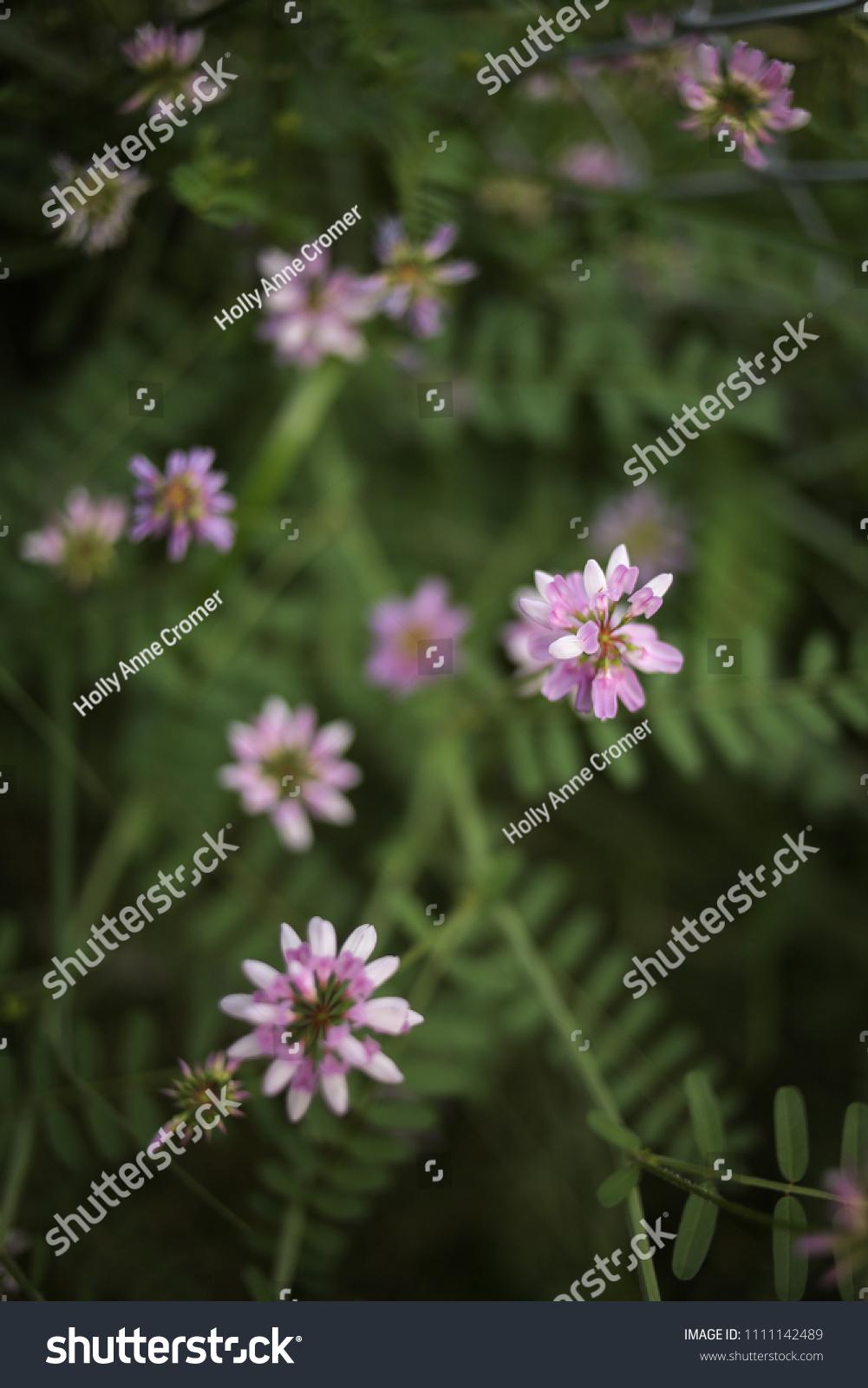 Purple crown vetch crownvetch flower stock photo edit now purple crown vetch crownvetch flower izmirmasajfo