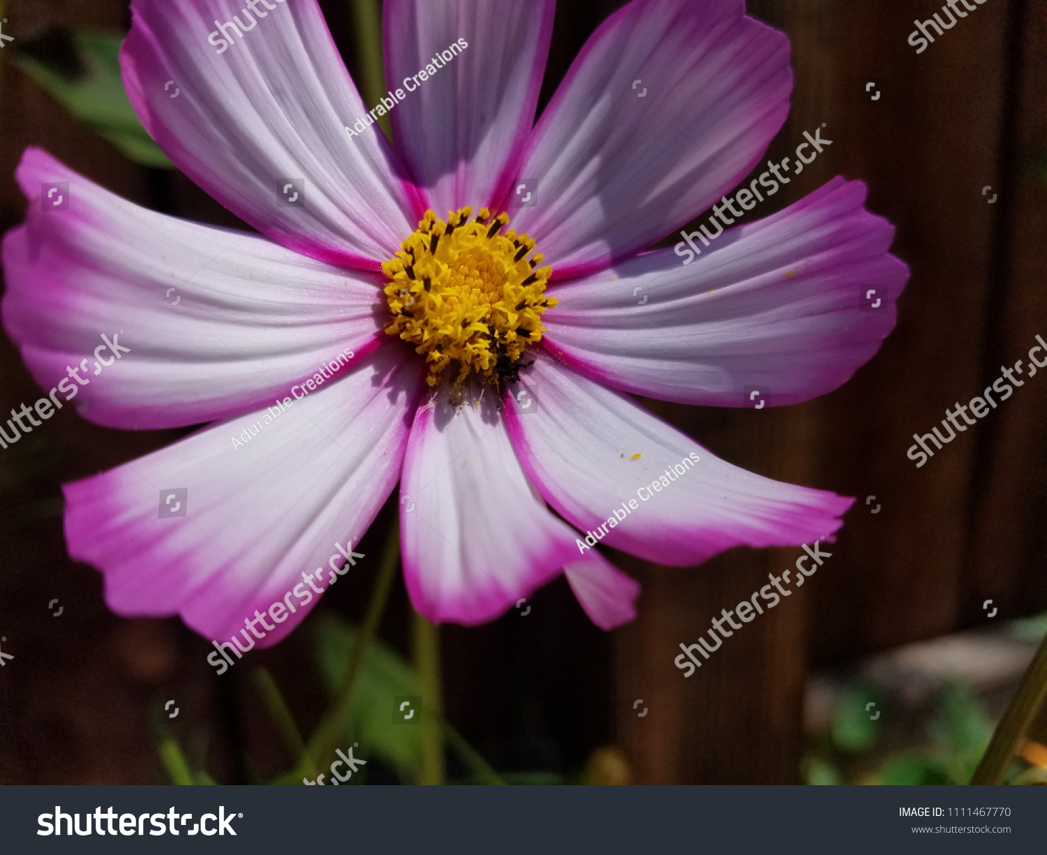Pink White Cosmo Flower Stock Photo Edit Now 1111467770 Shutterstock