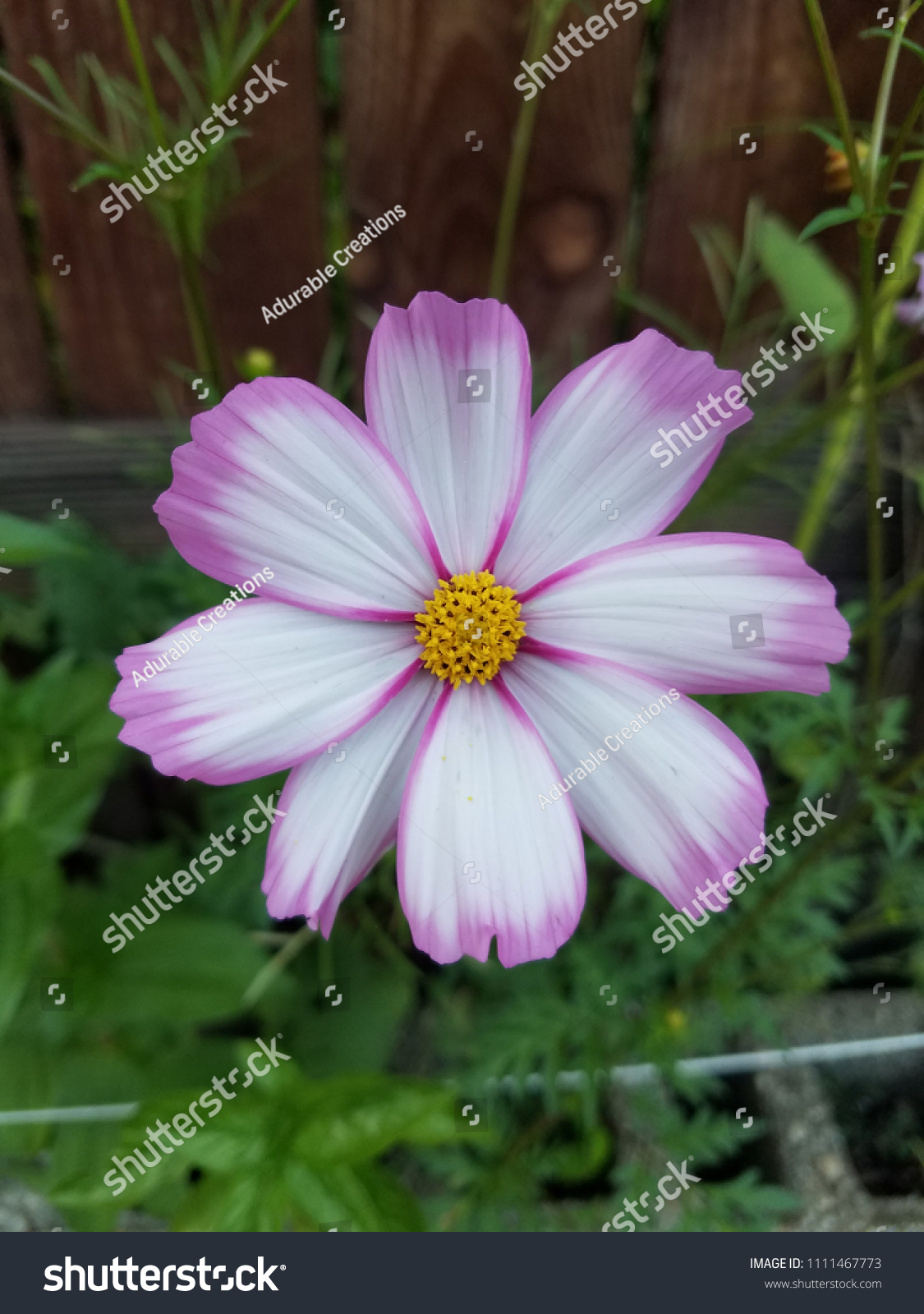 Pink White Cosmo Flower Stock Photo Edit Now 1111467773 Shutterstock