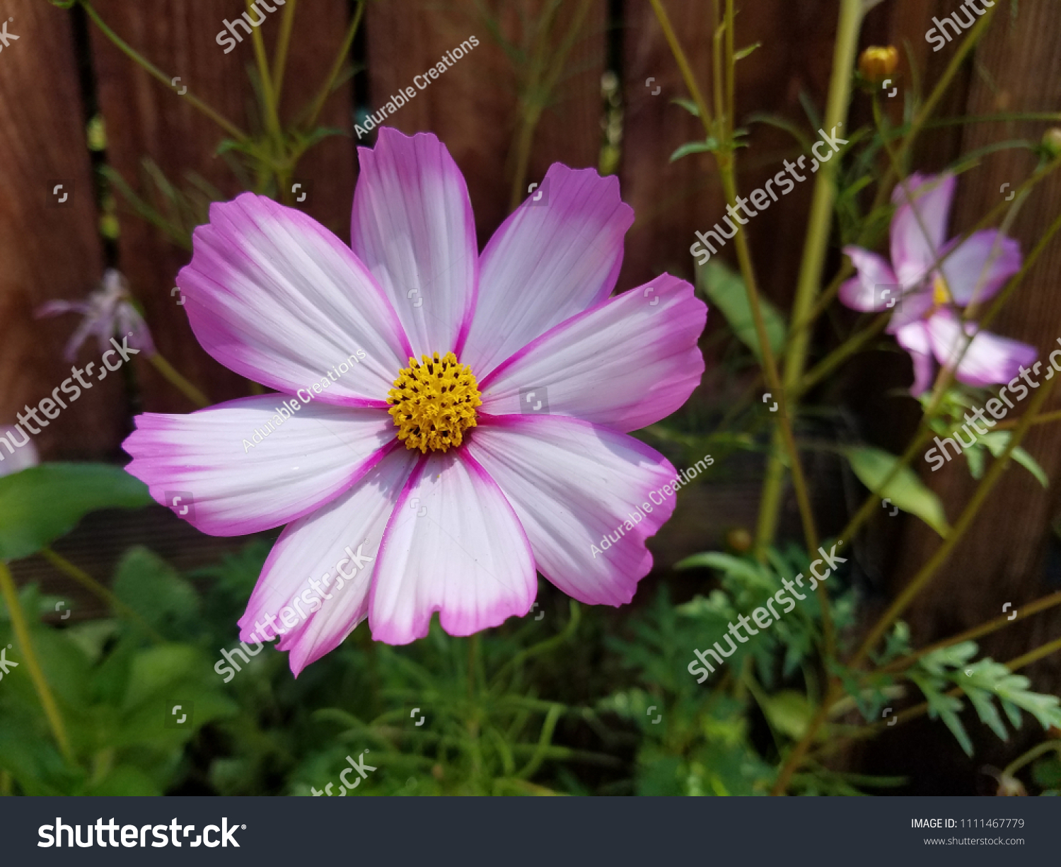 Pink white cosmo flower stock photo royalty free 1111467779 pink and white cosmo flower mightylinksfo