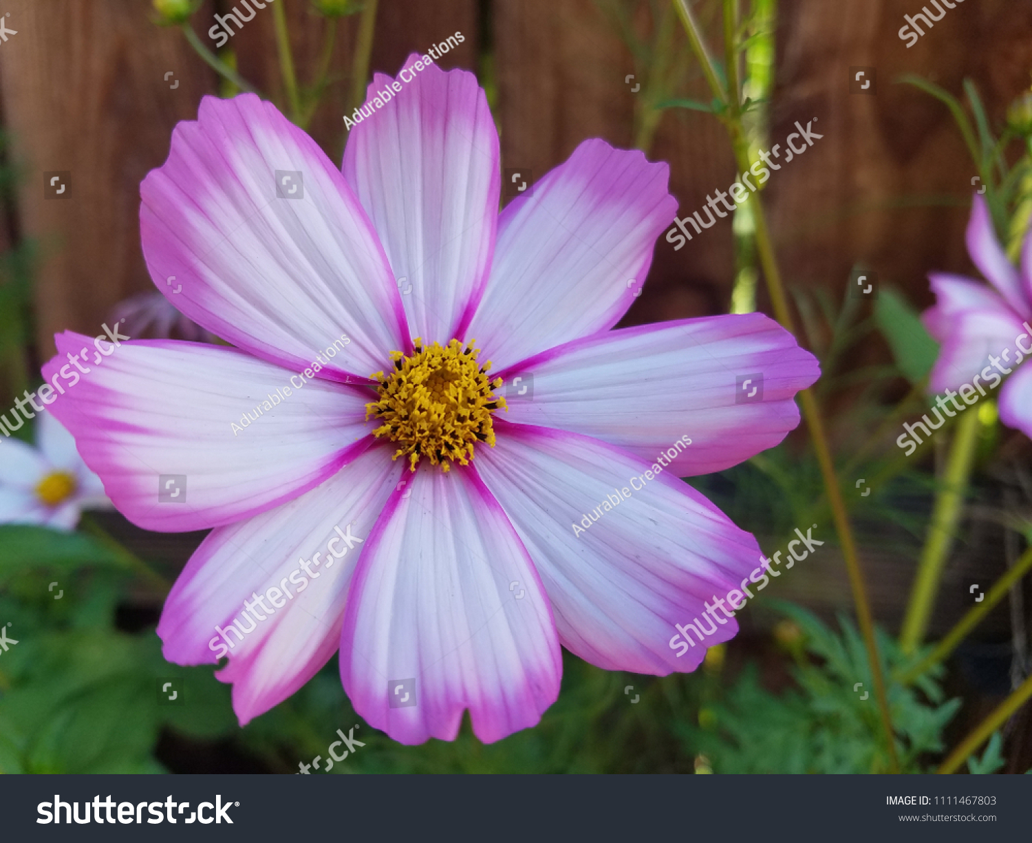 Pink White Cosmo Flower Stock Photo Edit Now 1111467803 Shutterstock