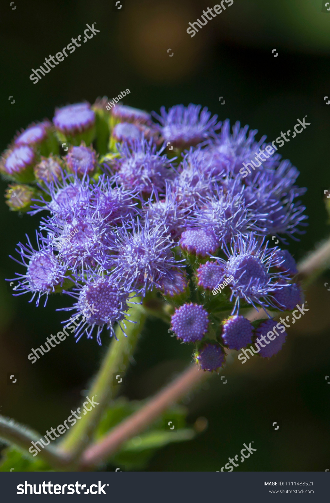 Ethereal Misty Powder Blue Flowers Perennial Stock Photo Edit Now