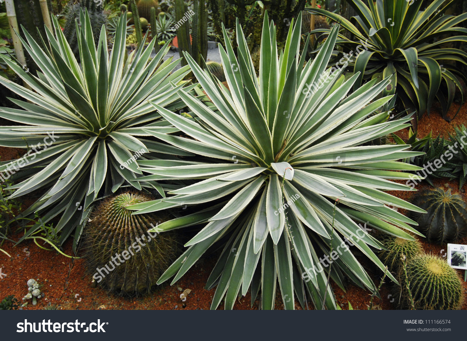 tropical yucca plants stock photo 111166574 shutterstock. Black Bedroom Furniture Sets. Home Design Ideas