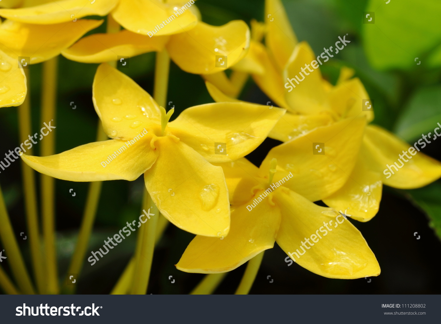 Closeup yellow flowers west indian jasminescientific stock photo close up yellow flowers west indian jasmineientific name ixora chinensis lamk izmirmasajfo