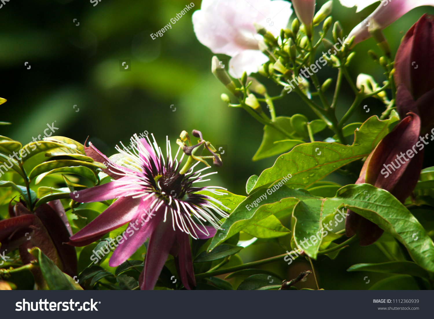 Beautiful Flower Pasiflora Macro Photography Blurred Stock Photo