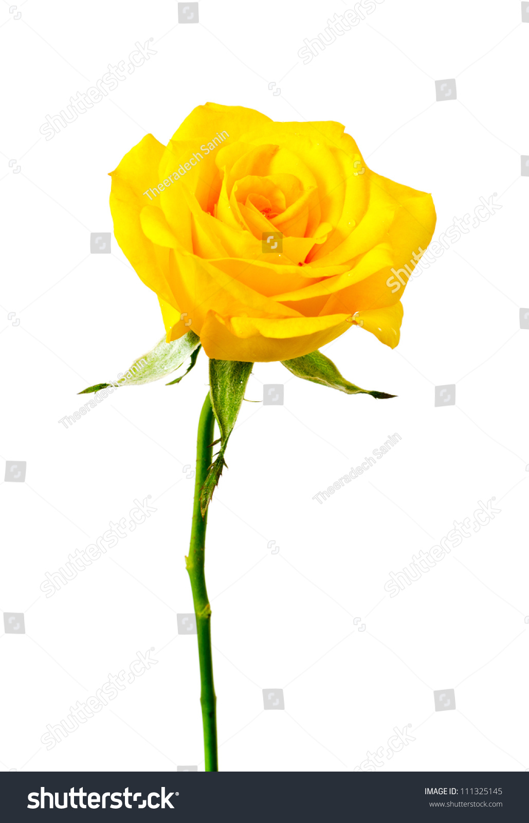 yellow rose on white background stock photo 111325145