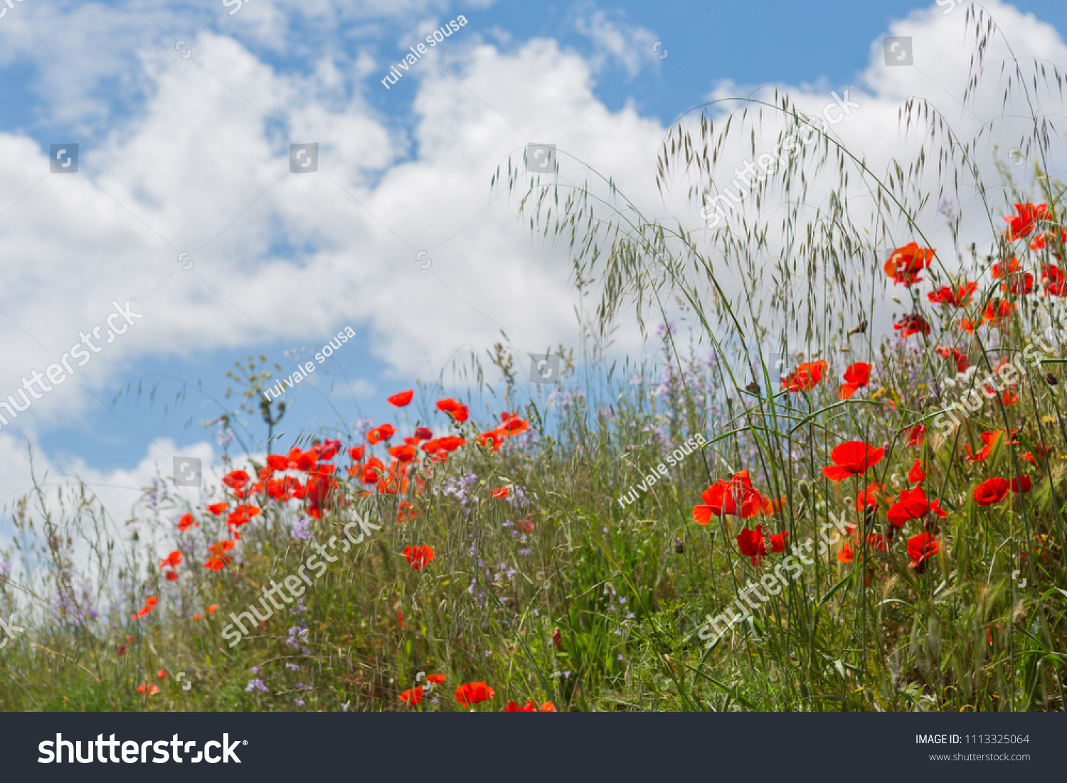 Wild Poppies Field Flowers North Spain Stock Photo Edit Now