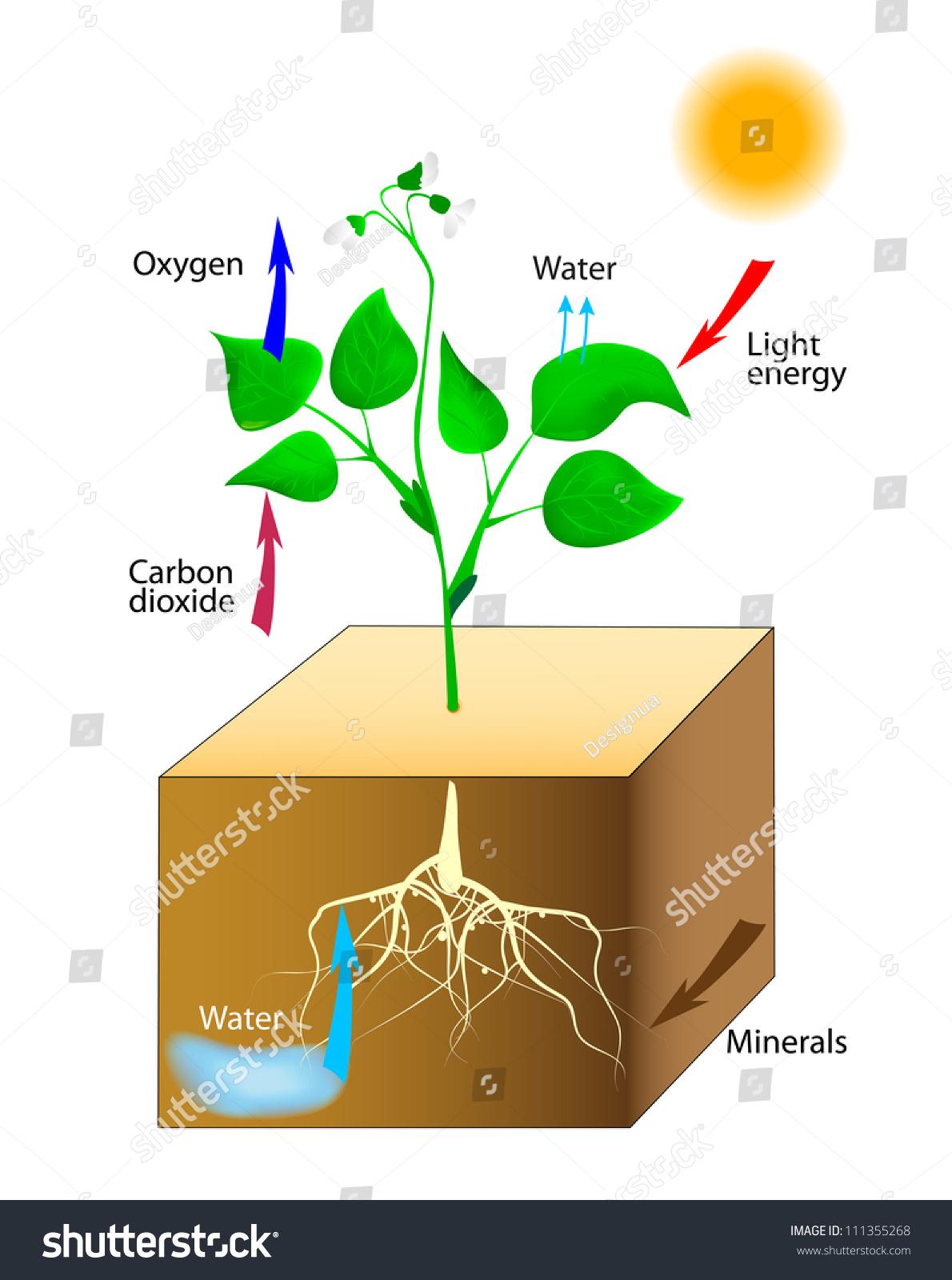 Fotosintesis y sus etapas 90