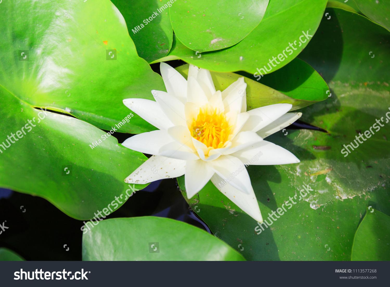 White Lotus Flower Green Leaves On Stock Photo Royalty Free