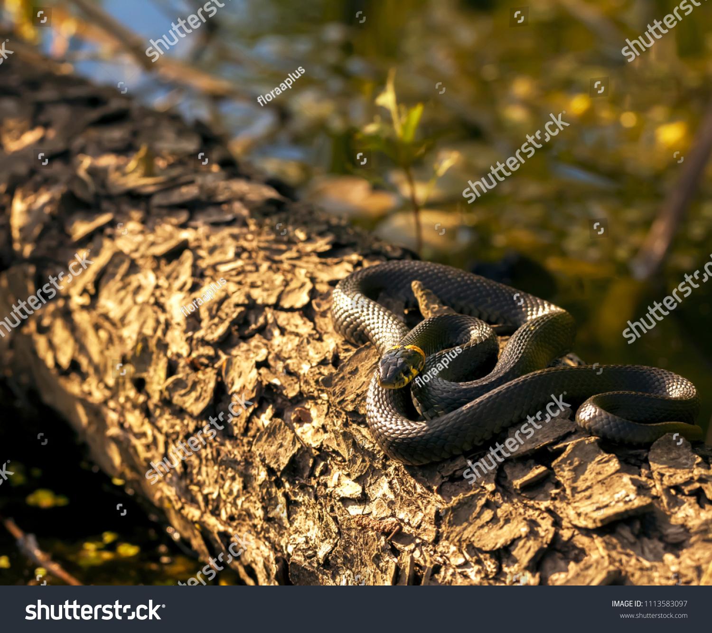 stock-photo-reptile-in-the-habitat-wild-