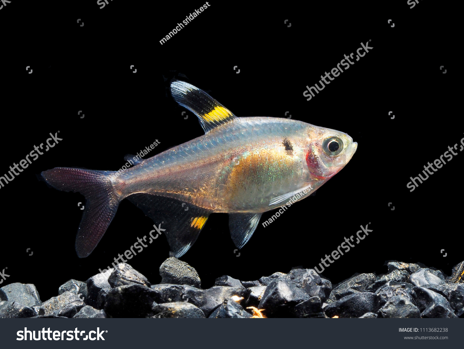 Light Shadows Serpae Tetra Fish Stock Photo (Edit Now