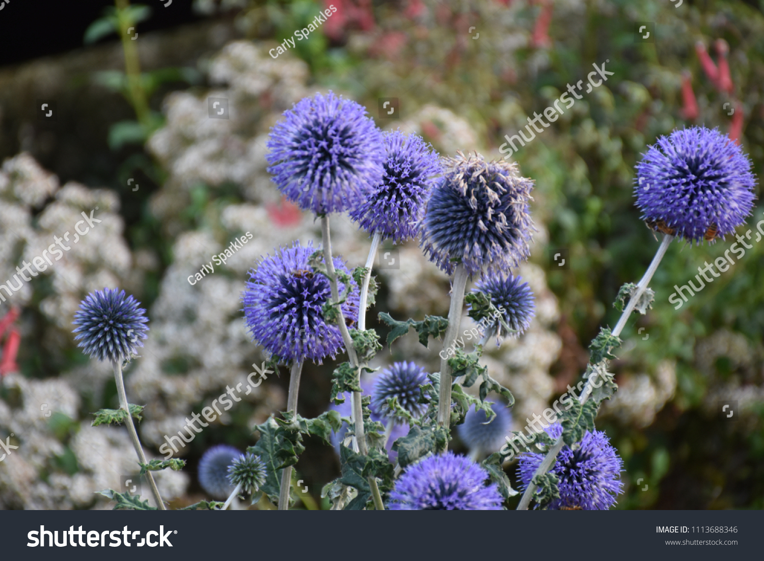 Some Tall Spikey Purple Flowers Stock Photo Edit Now 1113688346