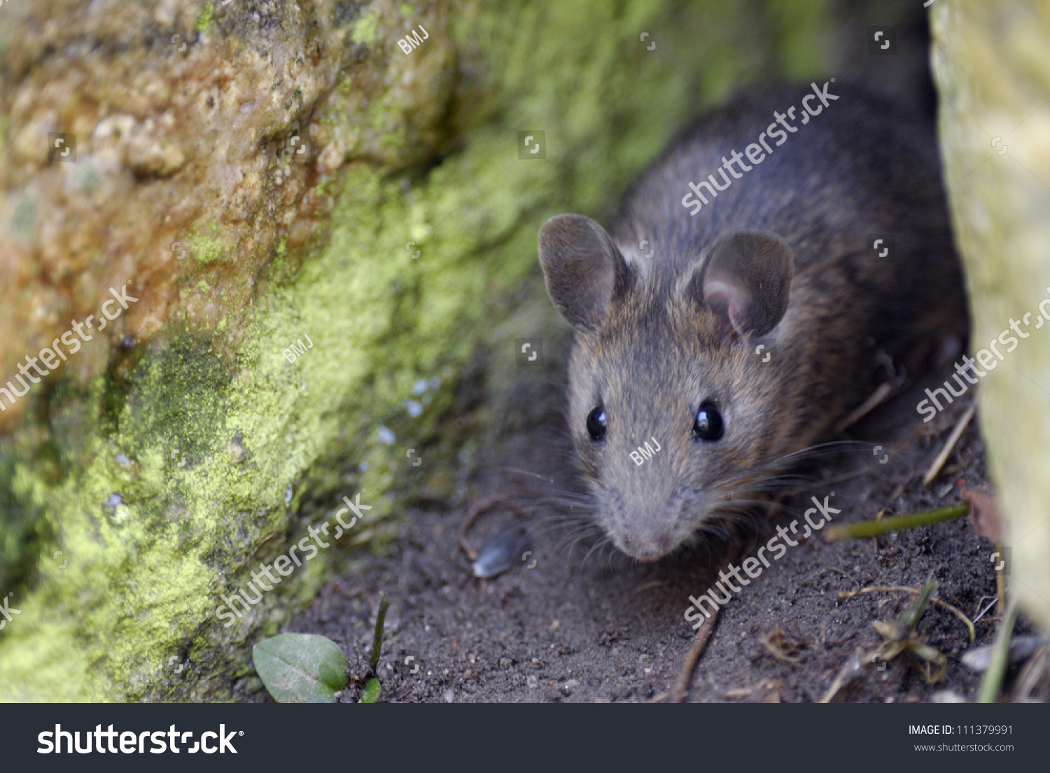 Wood mouse on a forest floor stock photo 111379991 for Mice in between floors