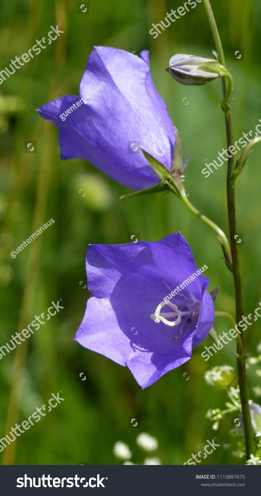 Campanula garden from the family of handbells