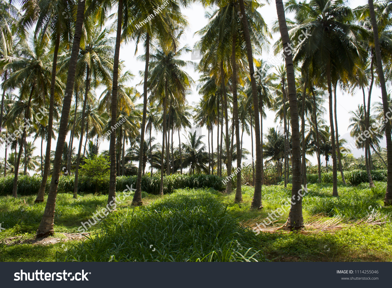 Beautiful Coconut Trees Farm Coimbatore Tamil Stock Photo (Edit Now