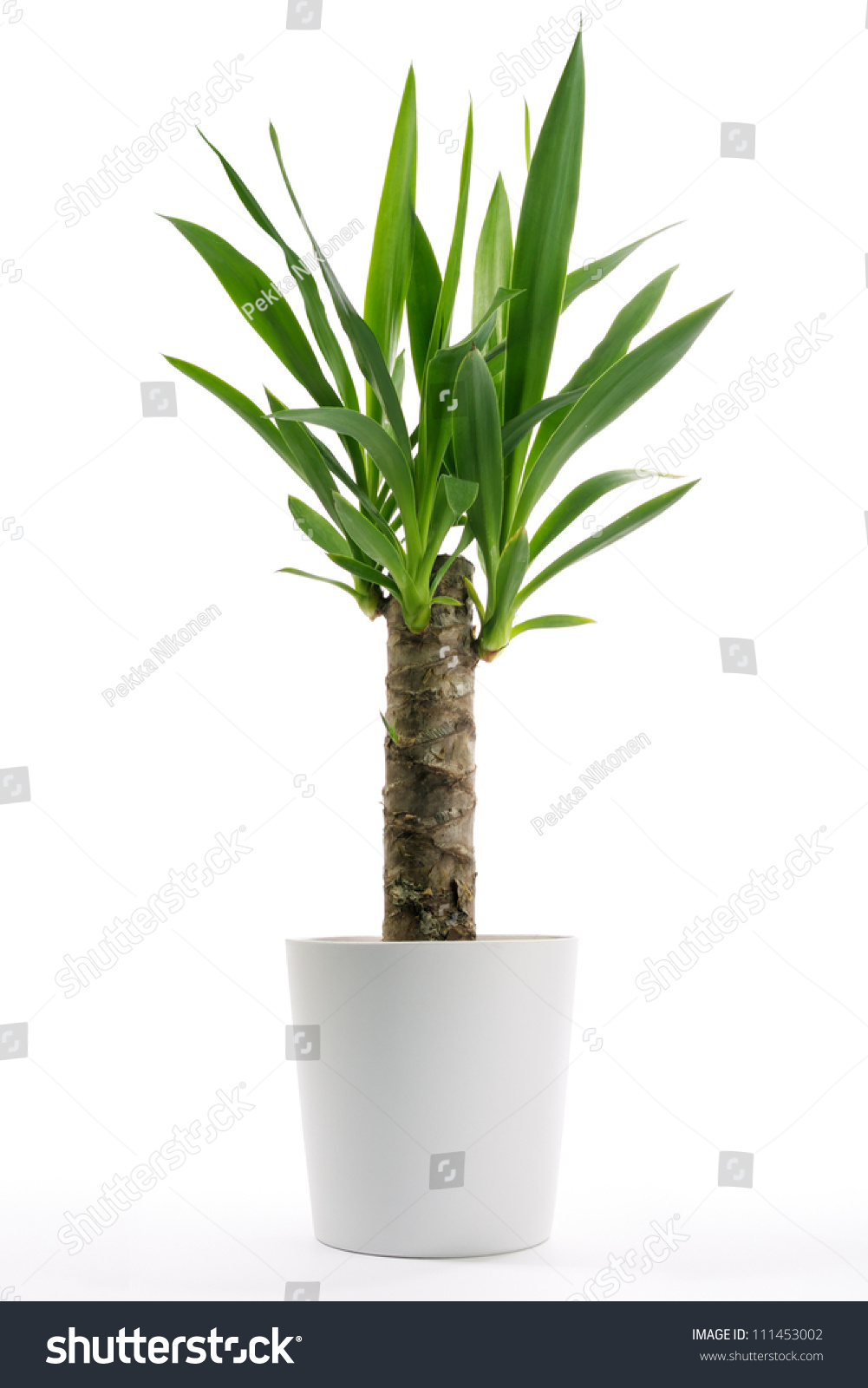 houseplant yucca potted plant isolated on stock photo 111453002 shutterstock. Black Bedroom Furniture Sets. Home Design Ideas
