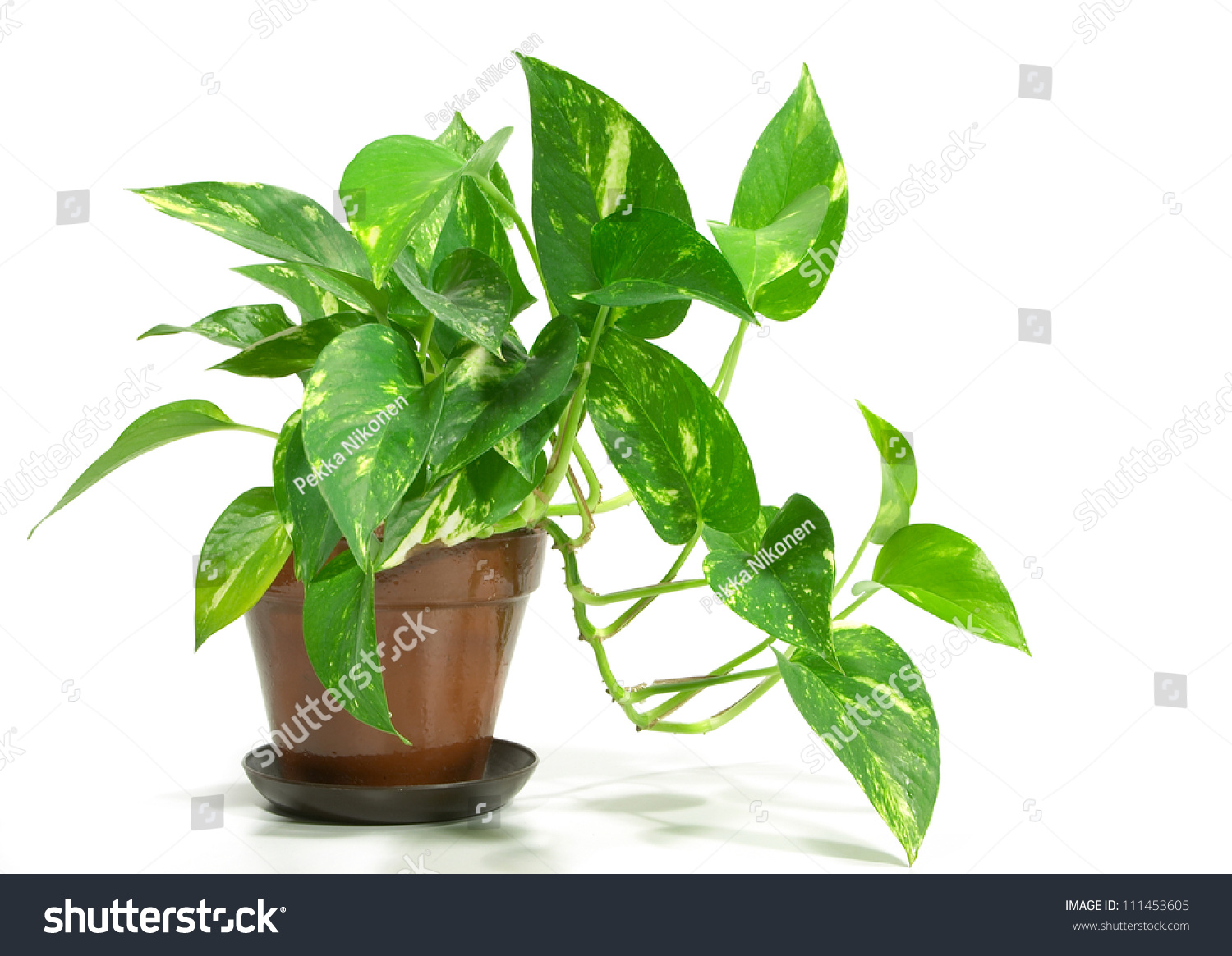 house plant potted plant isolated on stock photo 111453605