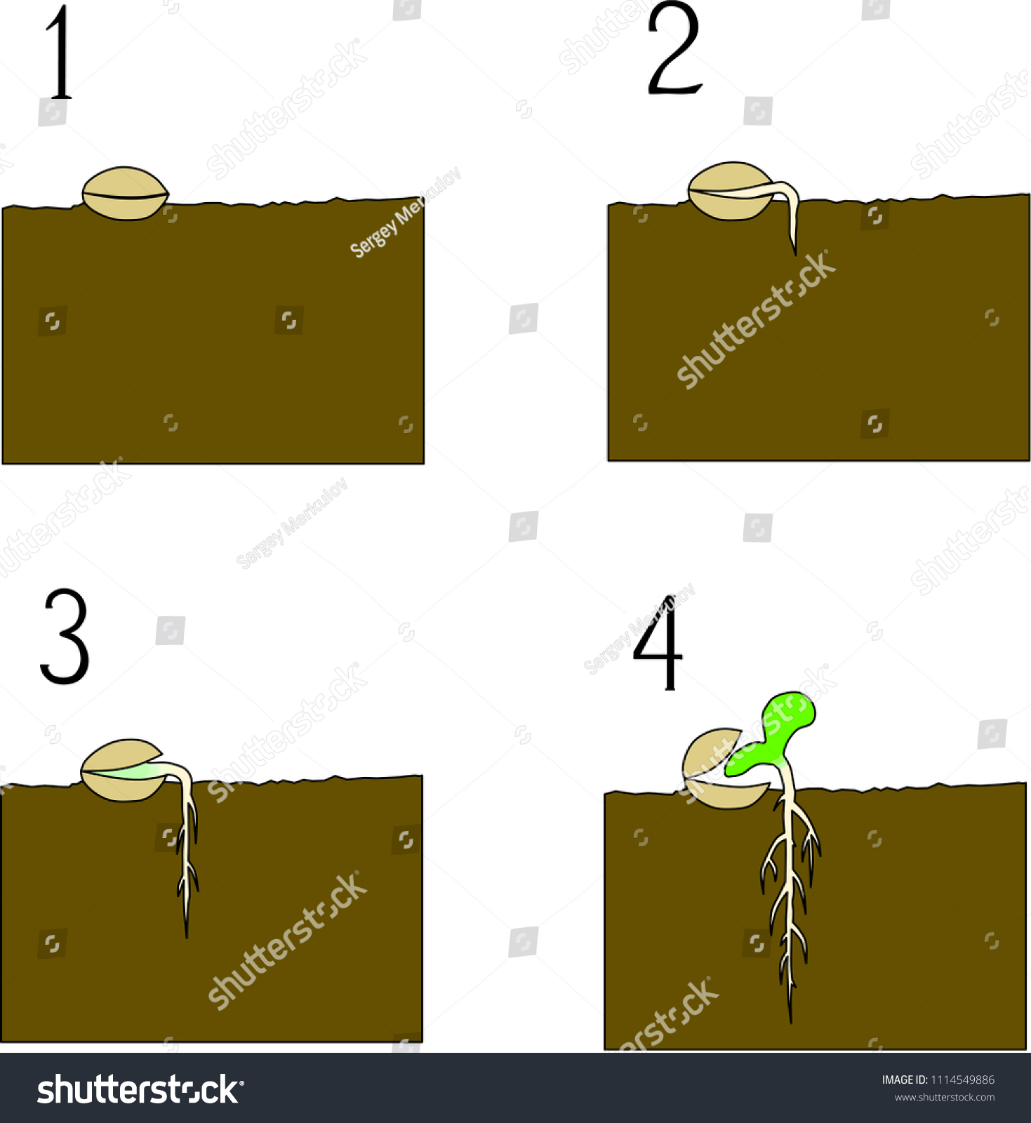 Seed Germination Process Stock Vector Royalty Free 1114549886 Diagram