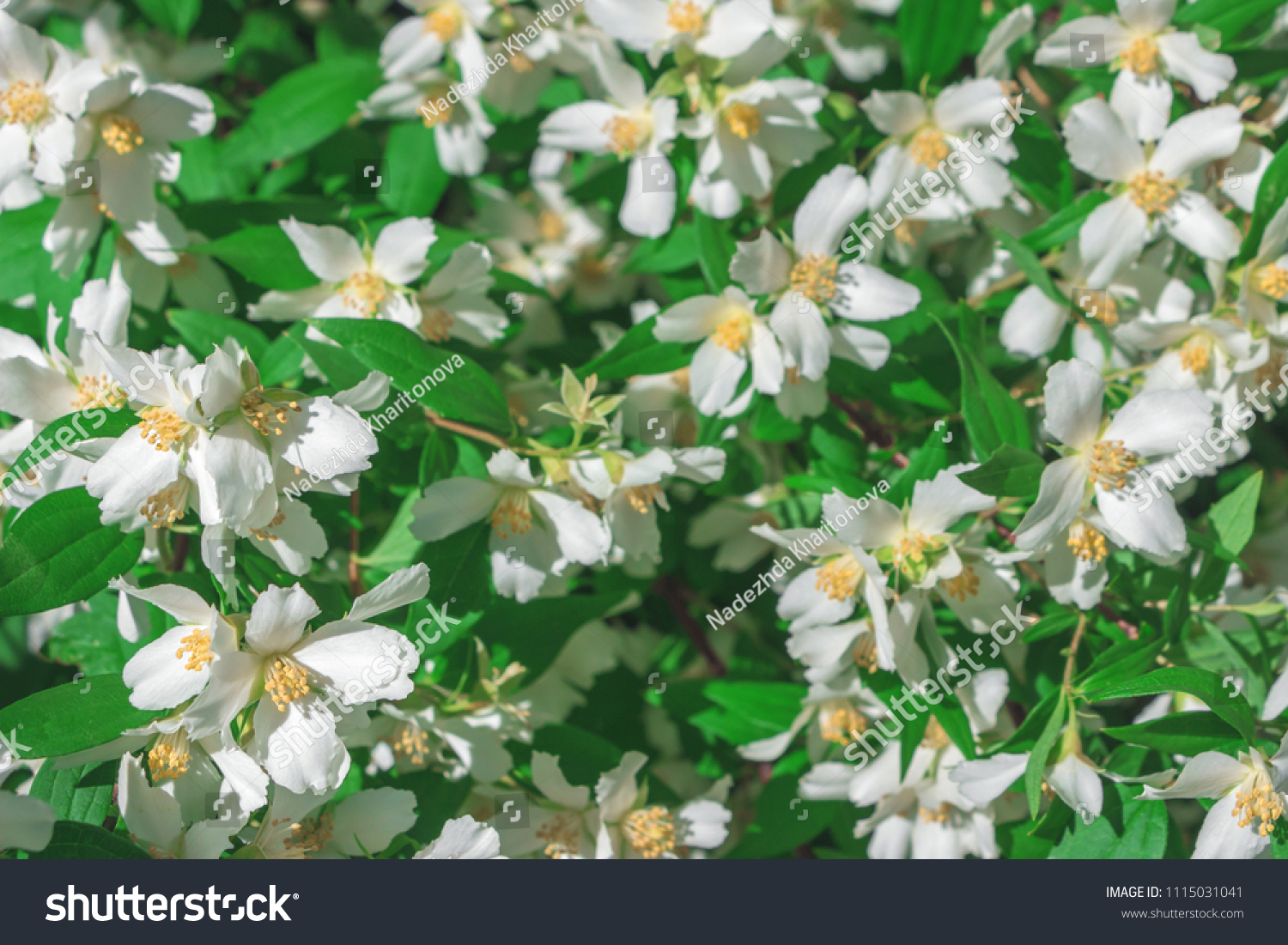 Fragrant White Flowers Philadelphus Mock Orange Stock Photo Edit