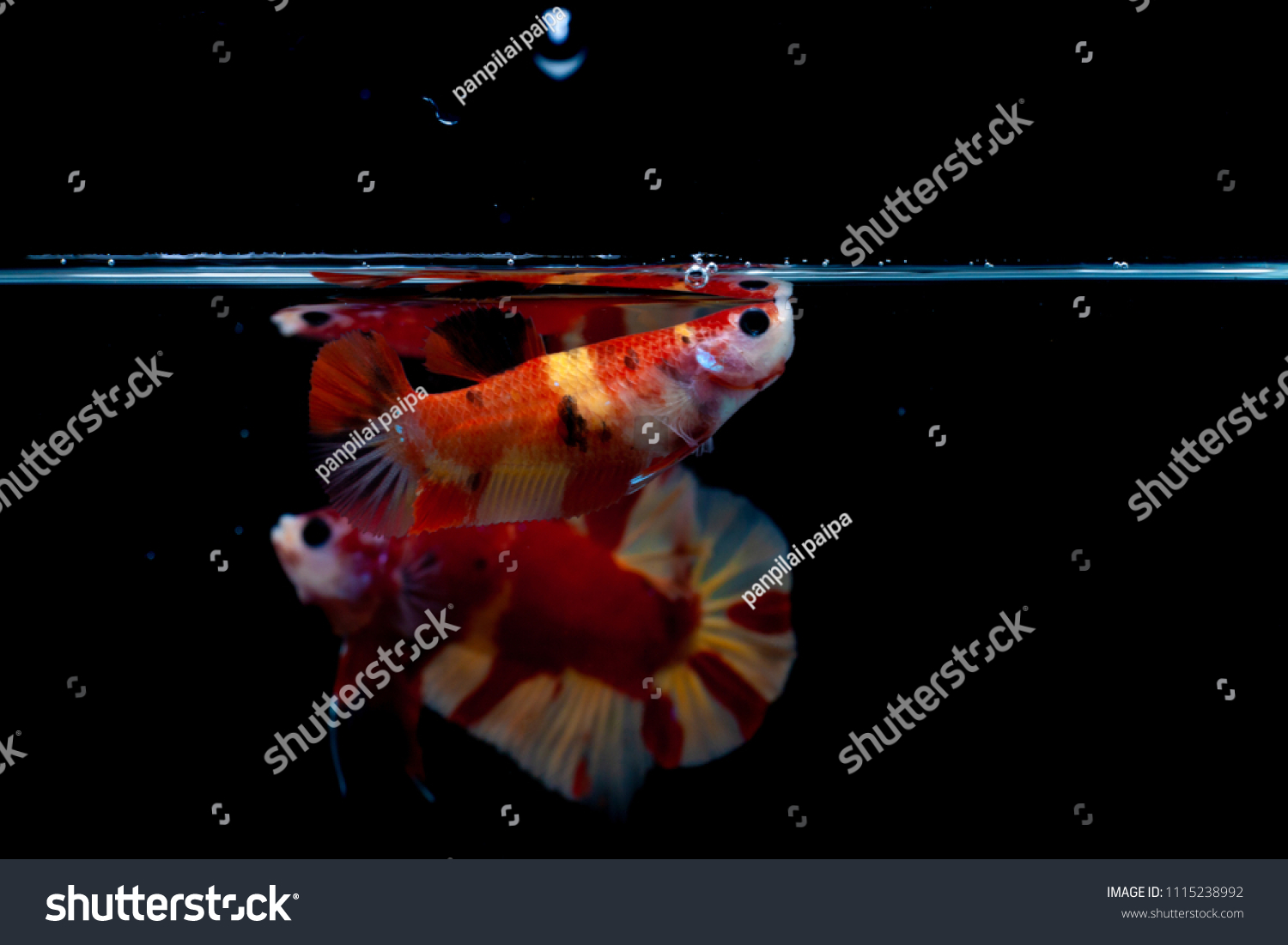 Mating Season Fish Nature Multi Color Siamese Stock Photo (Royalty ...