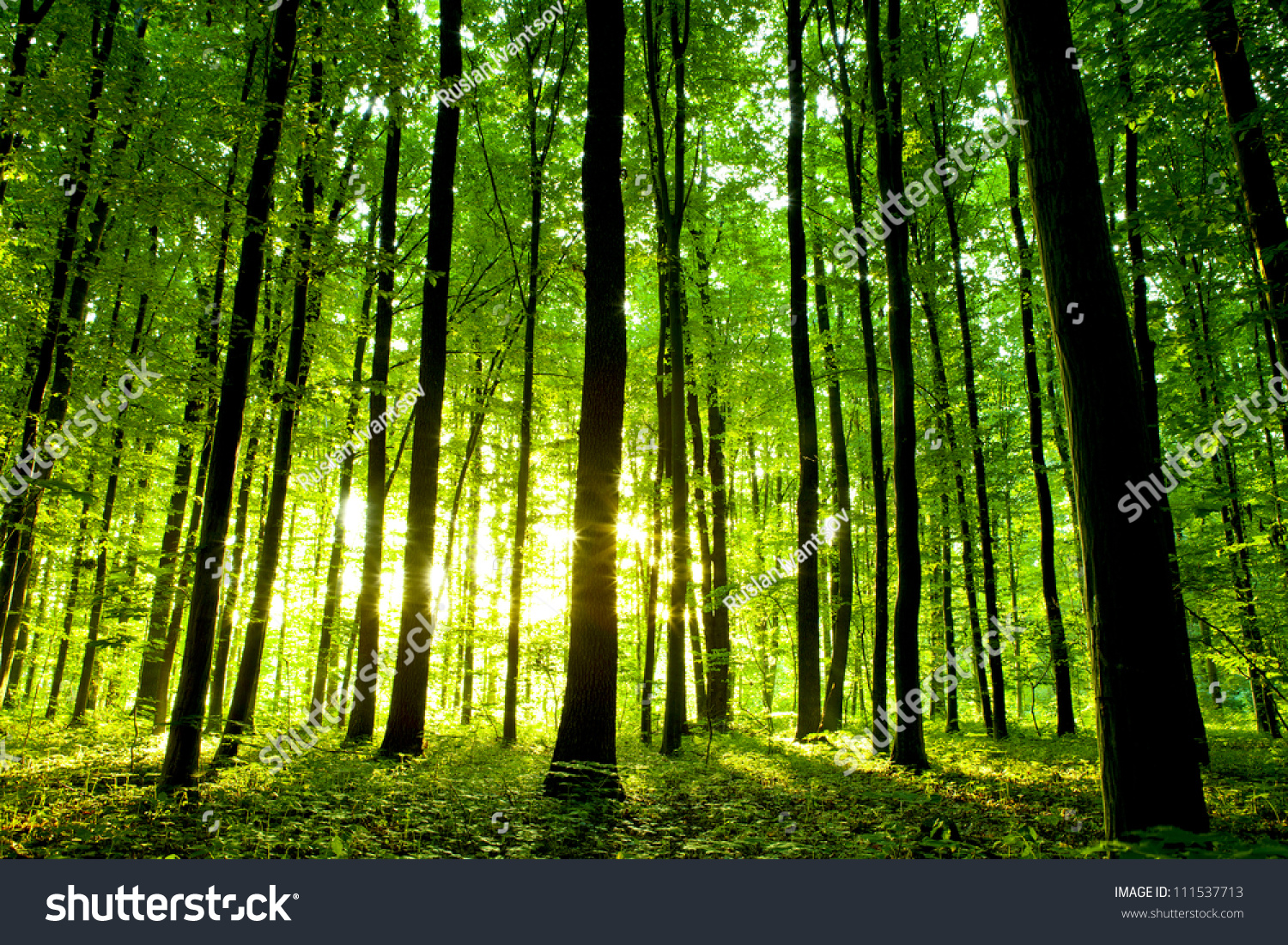 Beautiful Green Forest Stock Photo 111537713 : Shutterstock