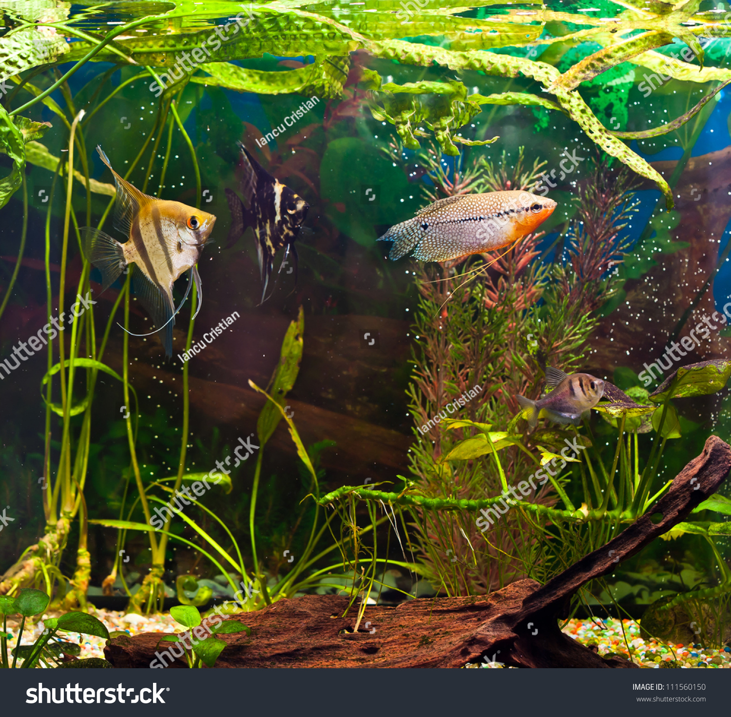 Fish angelfish in a tropical fish tank with many plants for Fish stock tank