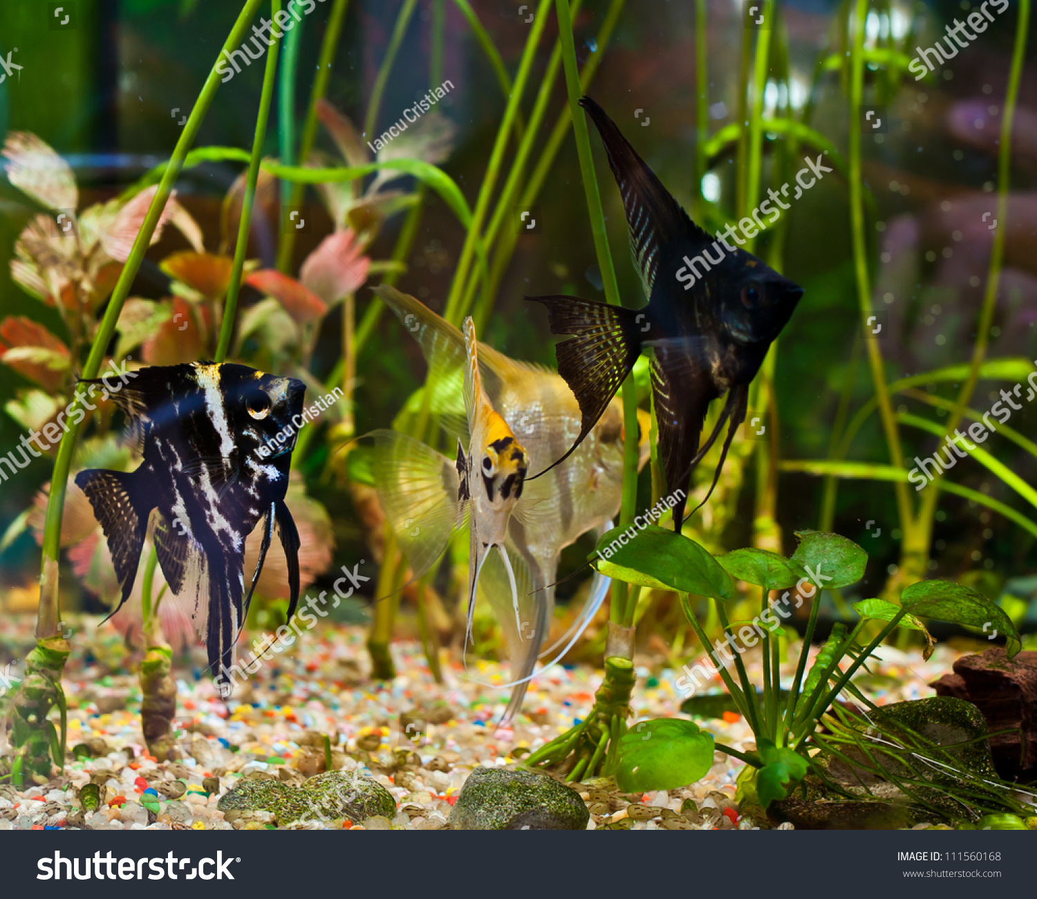 Freshwater aquarium fish angelfish - Fish Angelfish In A Tropical Fish Tank With Many Plants