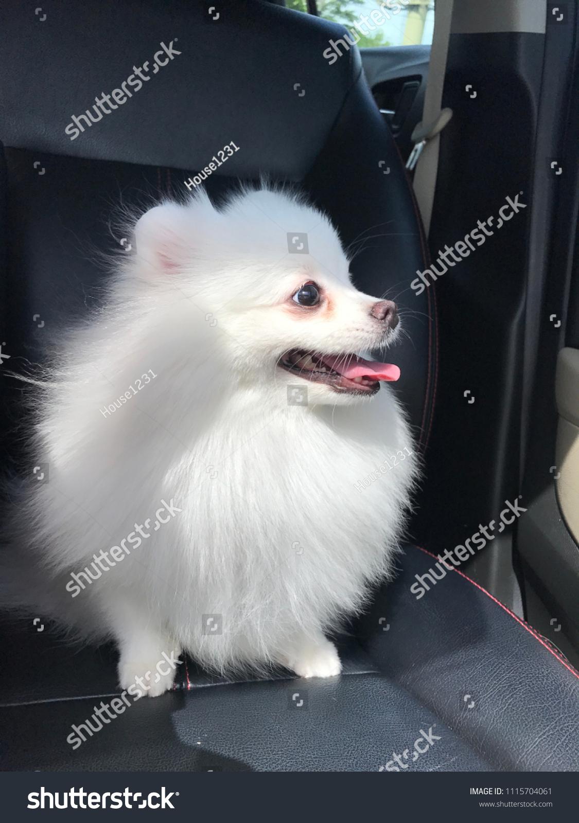 Baby Elly Pomeranian Dog Animals Wildlife Stock Image 1115704061