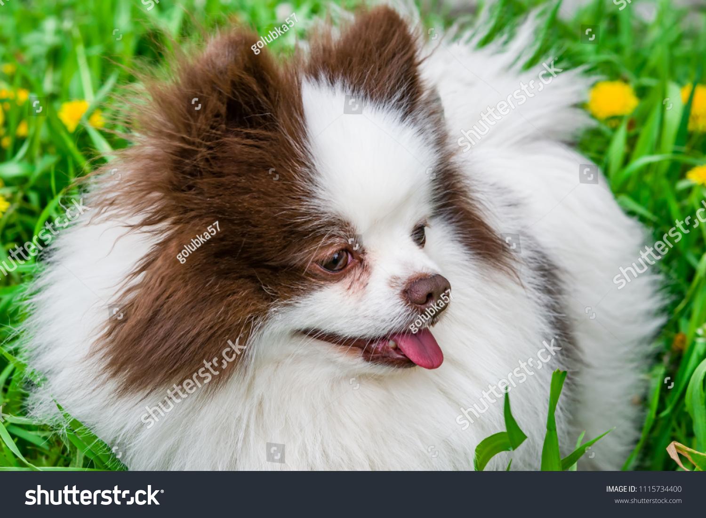 Pet Cute Fluffy Pomeranian Breed Dog Stock Photo Edit Now