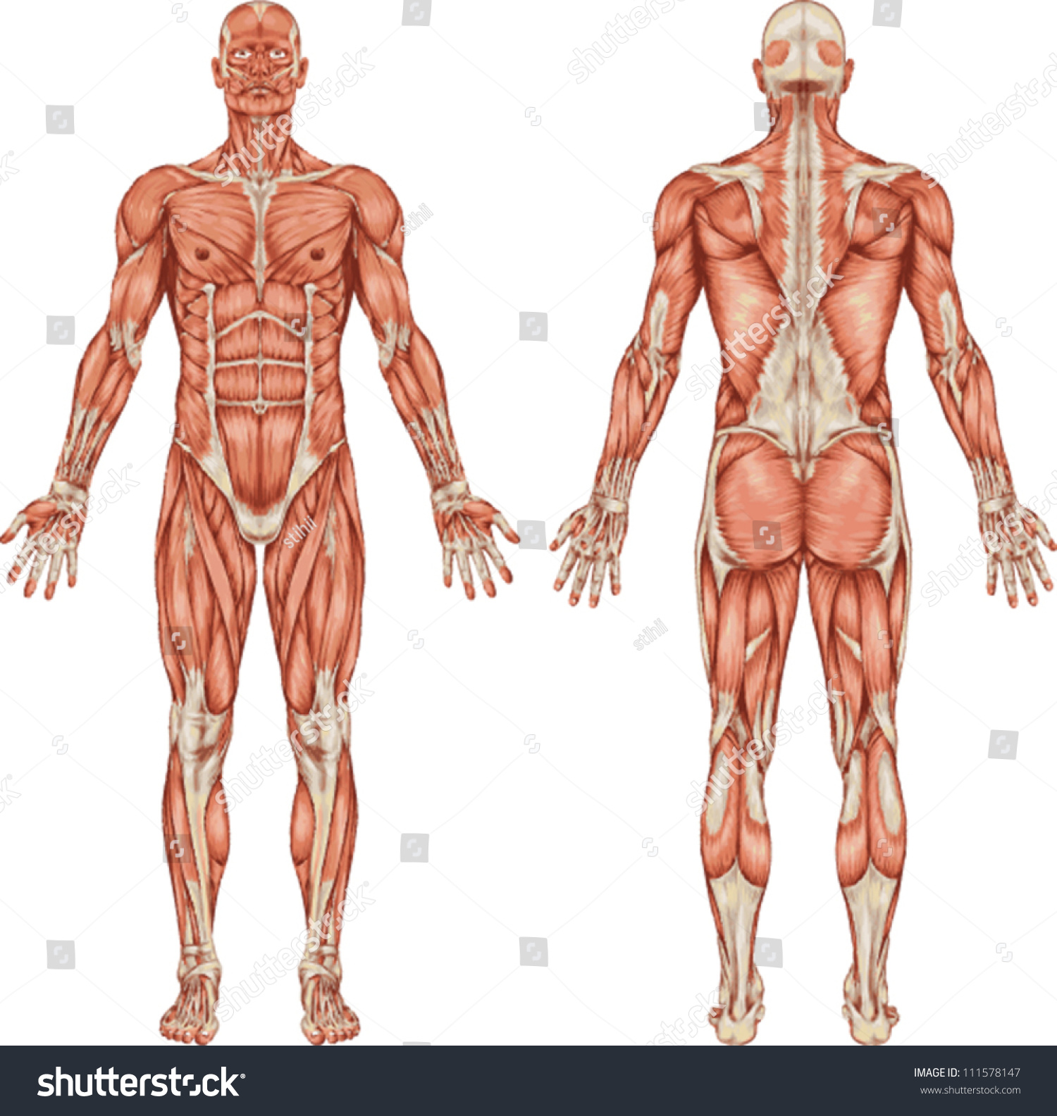 Anatomy Male Muscular System Posterior Anterior Stock Vector ...