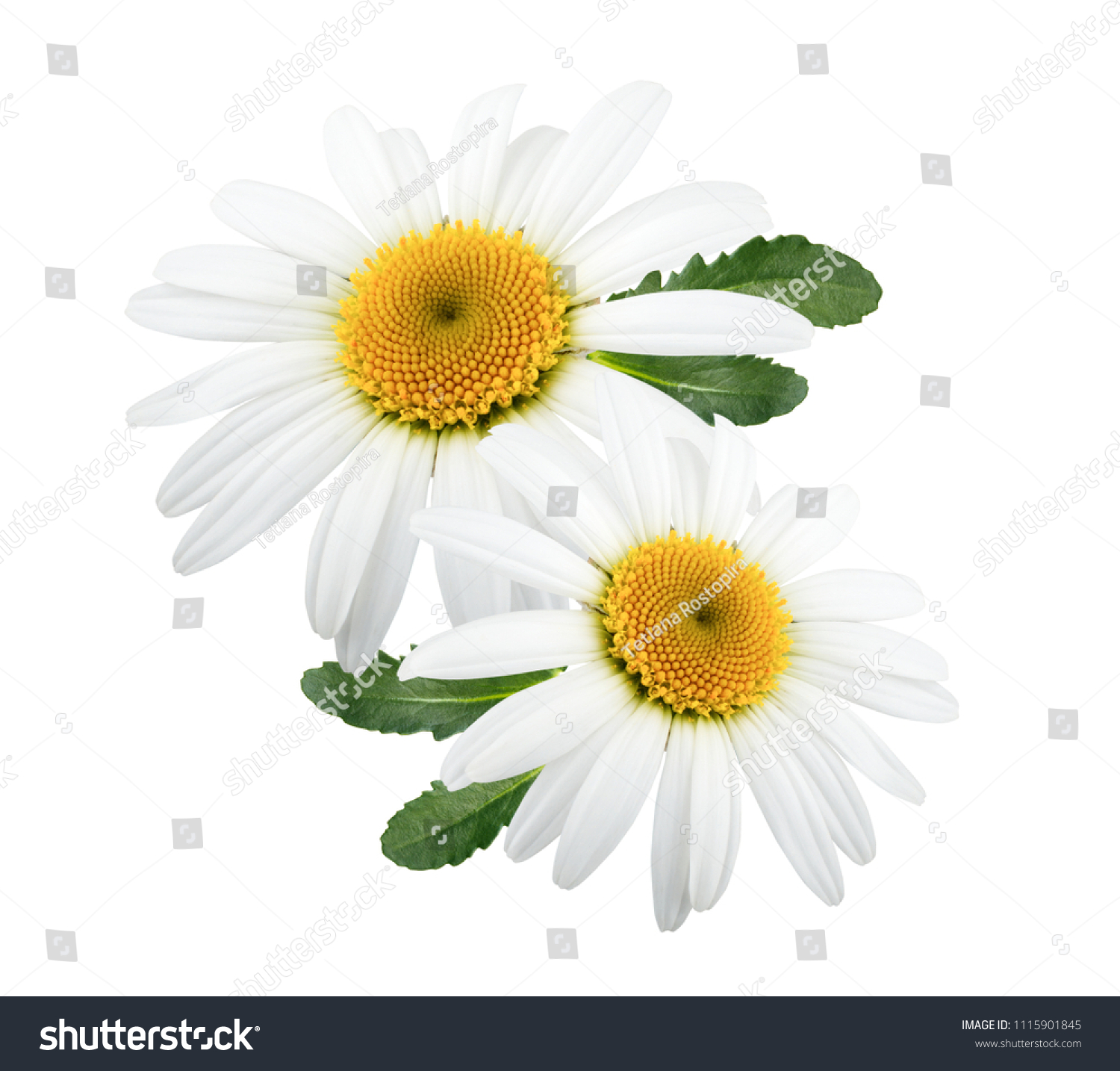 Daisy Flowers Isolated Leaves On White Stock Photo Edit Now