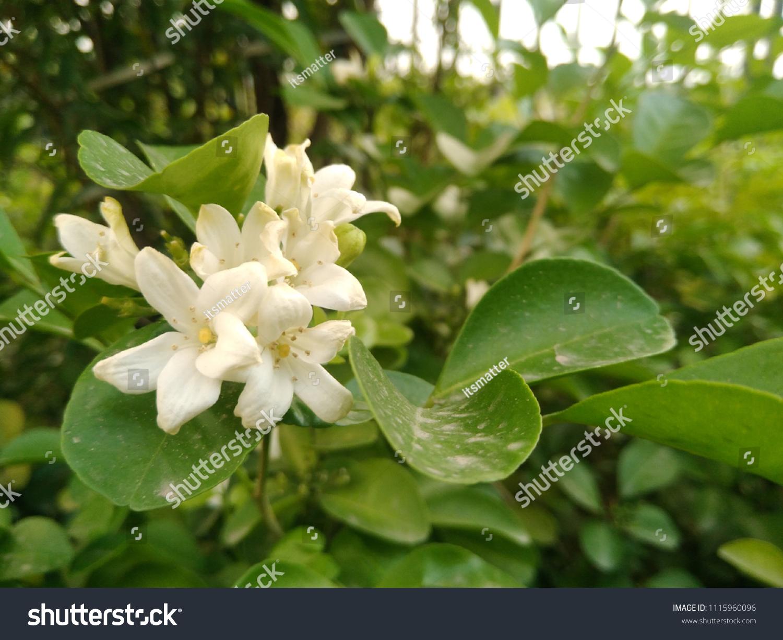Beautiful Flowers Many Name Orange Jasmine Stock Photo Edit Now