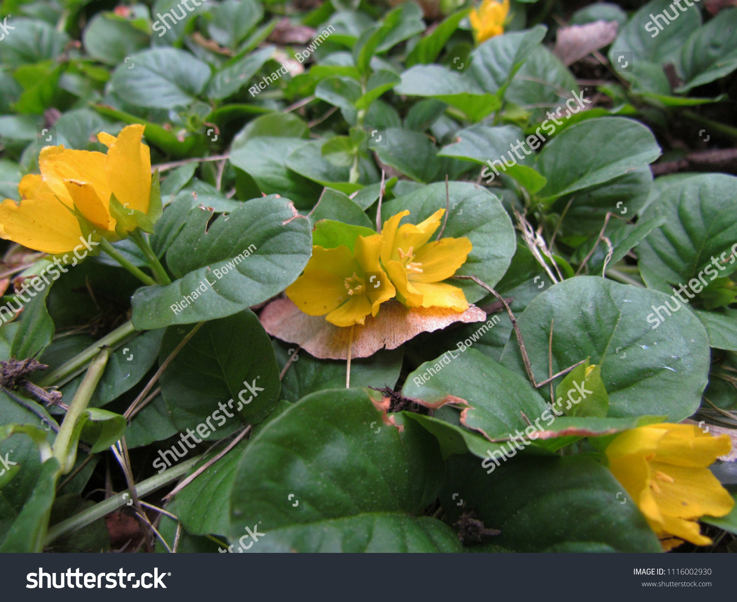 Creeping Jenny Ground Cover Produces Yellow Stock Photo Royalty